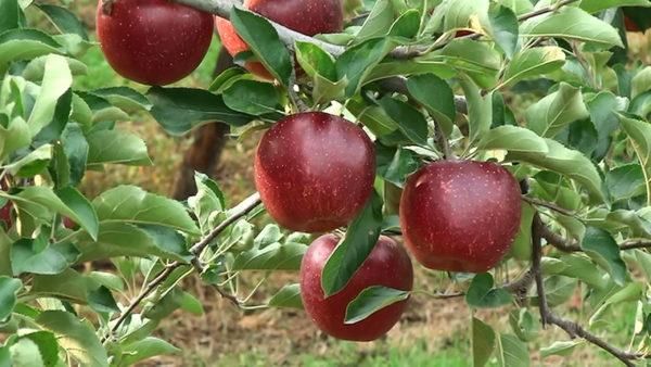 若穂のリンゴはとっても美味しいよ